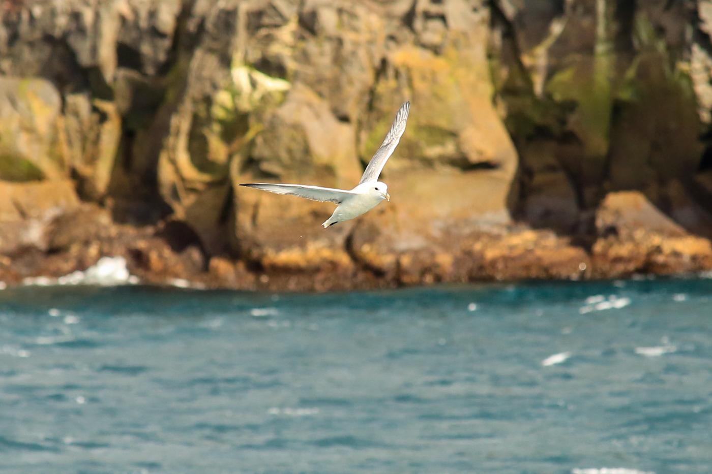 iles-feroe-fulmar (3)