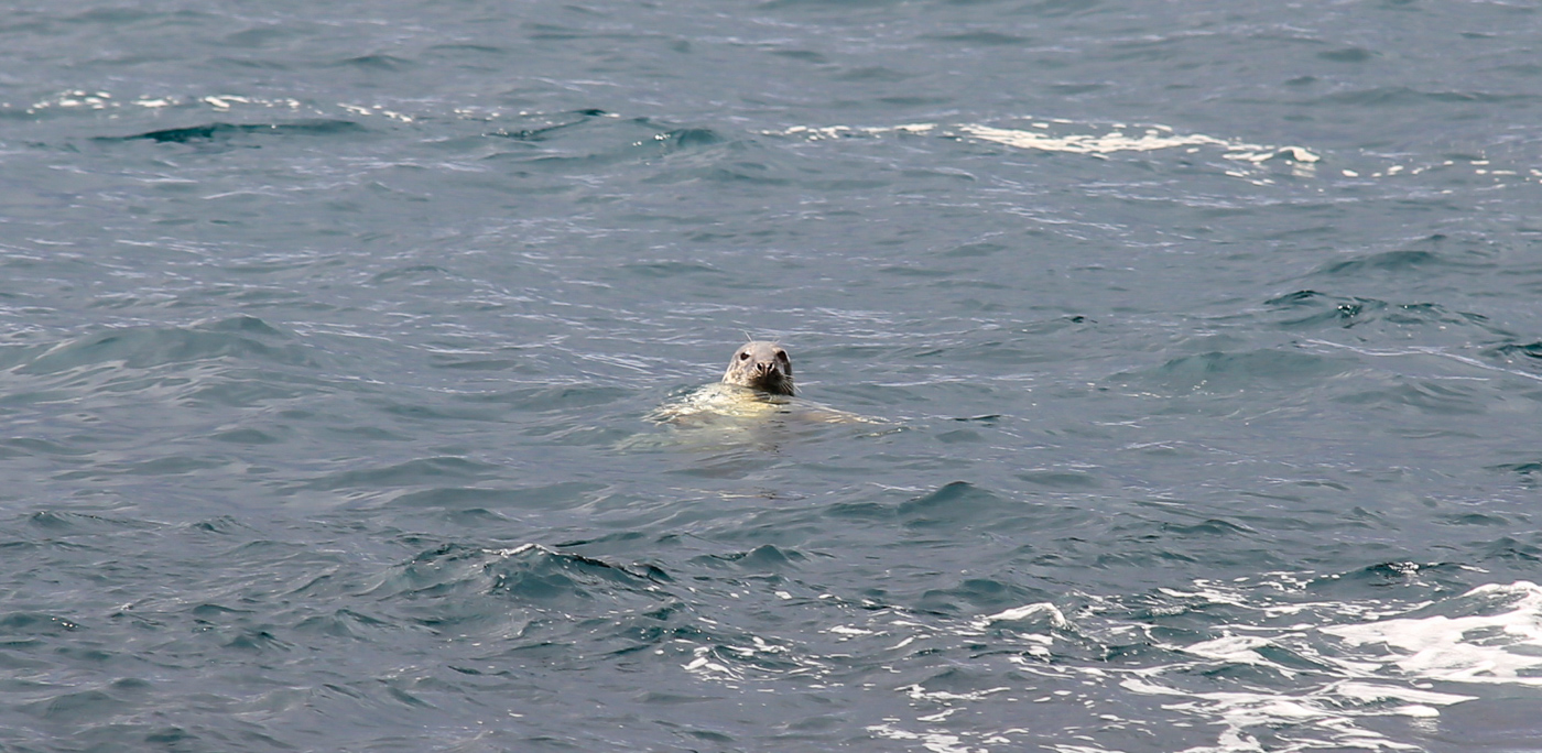 iles-feroe-phoque