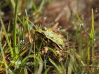 mavrovo-frog-03